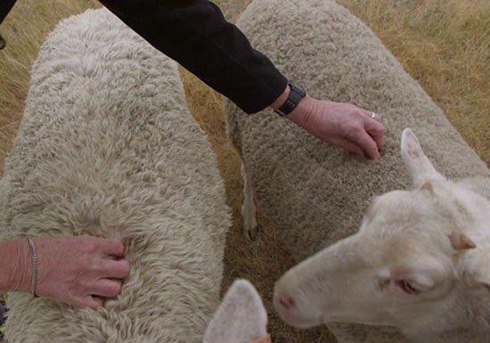 Μεταλλαγμένα πρόβατα ανατράφηκαν σε εργαστήριο για την καταπολέμηση της νόσου Μπάτεν